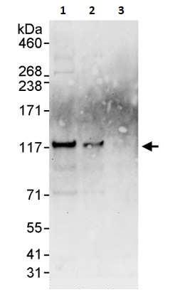 Western blot - Anti-BCAR1 antibody (ab264219)