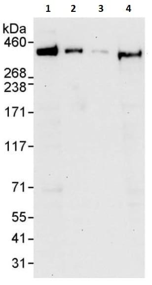 Western blot - Anti-Filamin B antibody (ab264226)