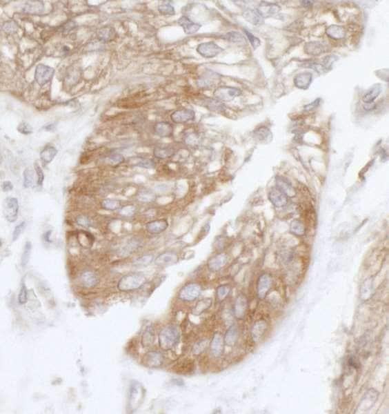 Immunohistochemistry (Formalin/PFA-fixed paraffin-embedded sections) - Anti-eIF3B antibody (ab264230)