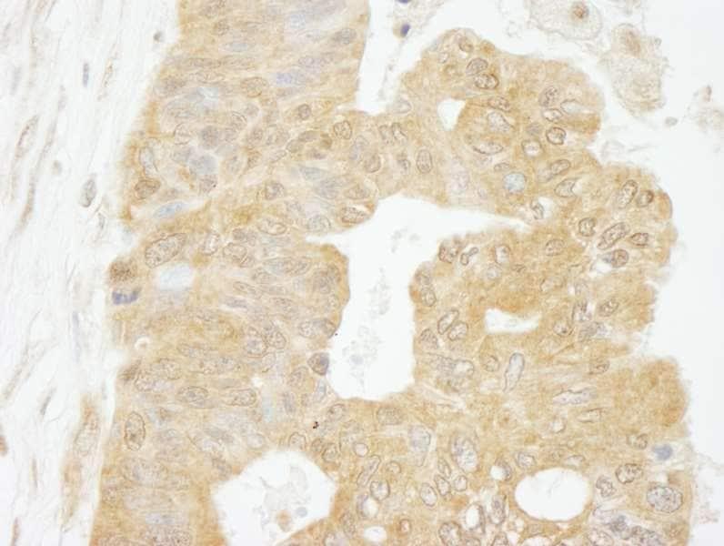 Immunohistochemistry (Formalin/PFA-fixed paraffin-embedded sections) - Anti-eIF4G1 antibody (ab264231)