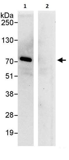 Immunoprecipitation - Anti-NFkB c Rel antibody (ab264237)