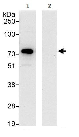 Immunoprecipitation - Anti-Optineurin antibody (ab264241)