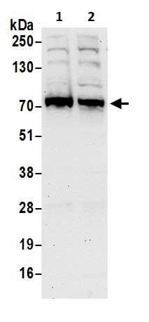 Western blot - Anti-Optineurin antibody (ab264242)