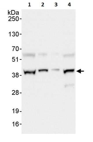 Western blot - Anti-UFD1L antibody (ab264243)
