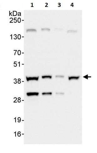 Western blot - Anti-UFD1L antibody (ab264244)