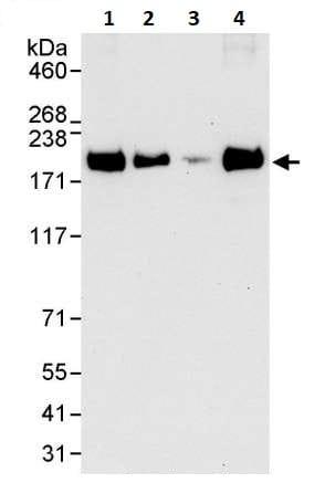 Western blot - Anti-EEA1 antibody (ab264245)