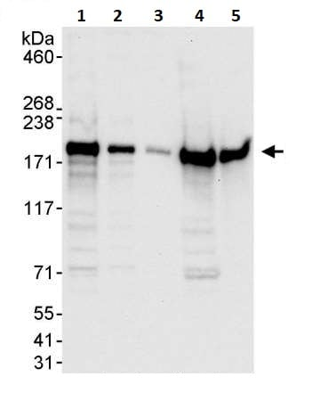 Western blot - Anti-EEA1 antibody (ab264246)