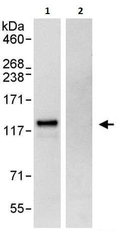 Immunoprecipitation - Anti-GEF H1 antibody (ab264247)