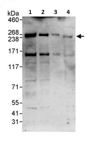 Western blot - Anti-Dicer antibody (ab264250)