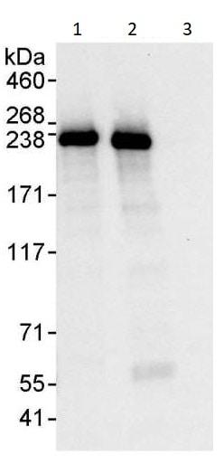 Immunoprecipitation - Anti-GBF1 antibody (ab264255)