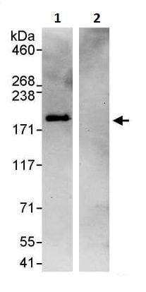 Immunoprecipitation - Anti-eIF3A antibody (ab264259)