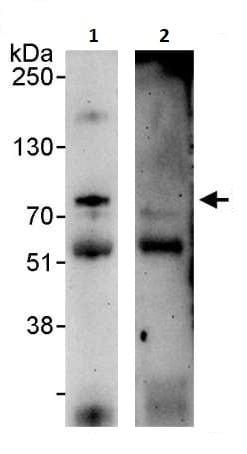 Immunoprecipitation - Anti-ZAP70 (phospho Y319) antibody (ab264260)