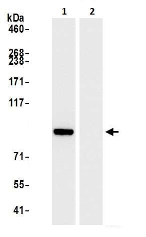 Immunoprecipitation - Anti-beta Catenin antibody (ab264262)