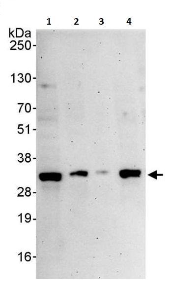 Western blot - Anti-Prohibitin antibody (ab264264)