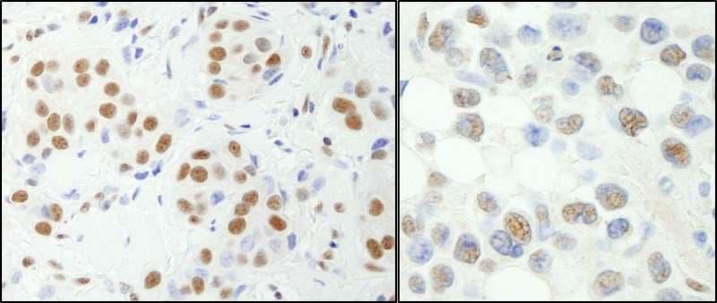 Immunohistochemistry (Formalin/PFA-fixed paraffin-embedded sections) - Anti-NFYA antibody (ab264275)