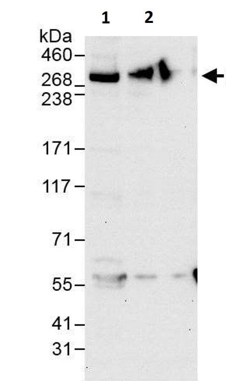 Western blot - Anti-IP3R1 antibody (ab264281)