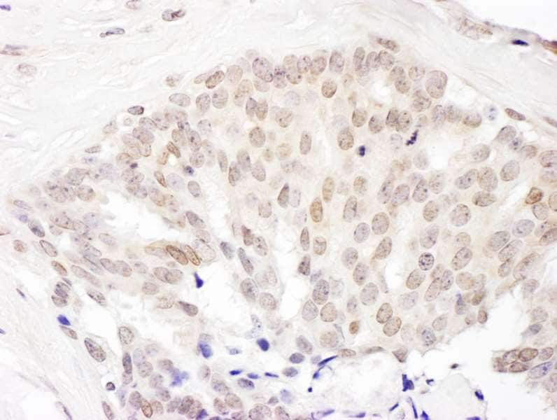 Immunohistochemistry (Formalin/PFA-fixed paraffin-embedded sections) - Anti-Cullin 5/CUL-5 antibody (ab264284)