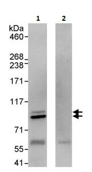 Immunoprecipitation - Anti-Cullin 5/CUL-5 antibody (ab264284)