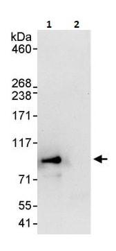 Immunoprecipitation - Anti-Mark3 antibody (ab264286)