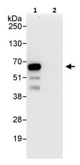 Immunoprecipitation - Anti-PHF23 antibody (ab264292)
