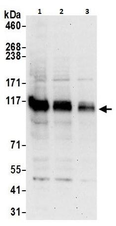 Western blot - Anti-BRD1/BRL antibody (ab264293)