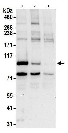 Western blot - Anti-BRD3 antibody (ab264294)