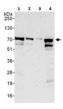 Western blot - Anti-ORC2L antibody (ab264304)