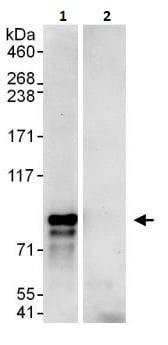 Immunoprecipitation - Anti-TAB2 antibody (ab264308)