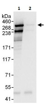 Immunoprecipitation - Anti-Huntingtin antibody (ab264310)