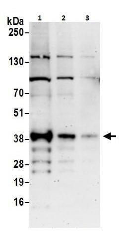 Western blot - Anti-ATF1 antibody (ab264316)