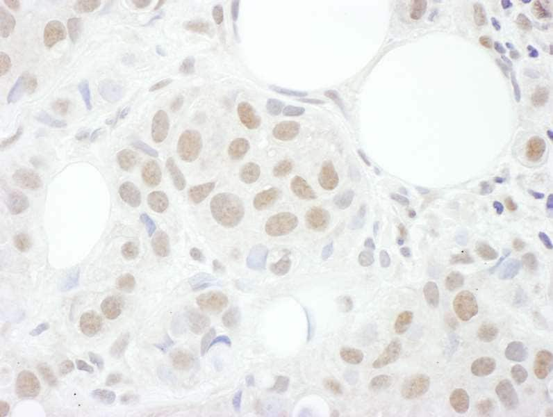 Immunohistochemistry (Formalin/PFA-fixed paraffin-embedded sections) - Anti-Cyclin T1 antibody (ab264325)