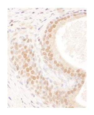 Immunohistochemistry (Formalin/PFA-fixed paraffin-embedded sections) - Anti-FIP antibody (ab264330)