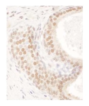 Immunohistochemistry (Formalin/PFA-fixed paraffin-embedded sections) - Anti-FIP antibody (ab264331)