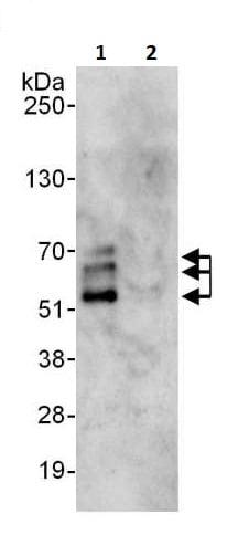 Immunoprecipitation - Anti-NFIB / NF1B2 antibody (ab264332)