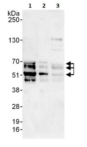 Western blot - Anti-NFIB / NF1B2 antibody (ab264332)