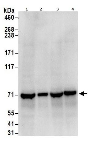 Western blot - Anti-NXF1 antibody (ab264341)