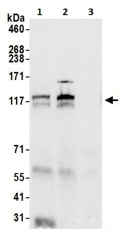 Immunoprecipitation - Anti-POLD1 antibody (ab264345)