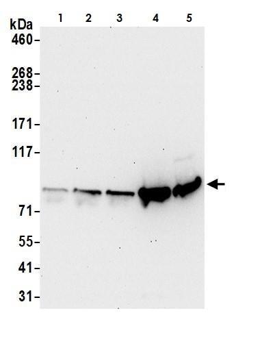 Western blot - Anti-Aconitase 2 antibody (ab264394)