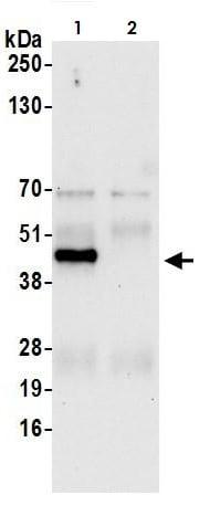 Immunoprecipitation - Anti-Cyclophilin 40 antibody (ab264396)