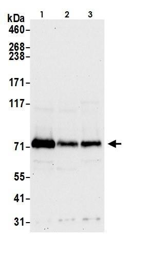 Western blot - Anti-FACL4 antibody (ab264397)