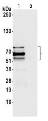 Immunoprecipitation - Anti-SOX10 antibody (ab264405)