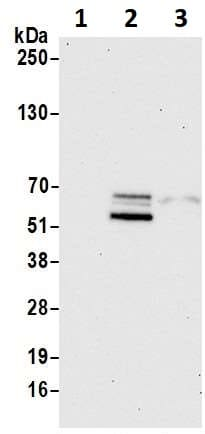 Western blot - Anti-SOX10 antibody (ab264405)