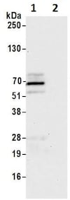 Immunoprecipitation - Anti-SOX10 antibody (ab264405)