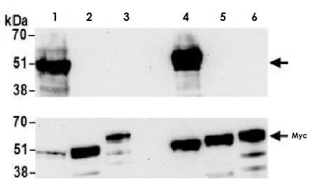 Western blot - Anti-MafA antibody [BLR067G] - BSA free (ab264418)
