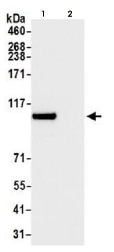 Immunoprecipitation - Anti-BRD3 antibody [BLR069G] (ab264420)