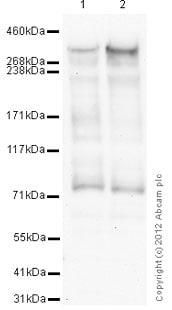 Western blot - Anti-KAT3B / p300 antibody [3G230 / NM-11] - BSA and Azide free (ab264432)