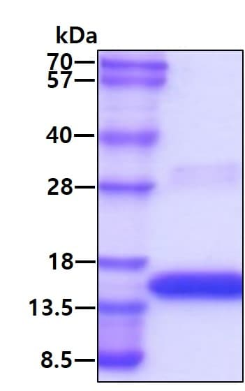 SDS-PAGE - Recombinant human VEGFA protein (Active) (ab264451)