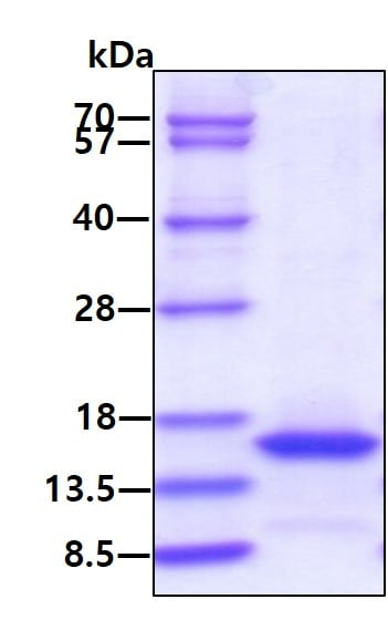 SDS-PAGE - Recombinant mouse IL-15 protein (Active) (ab264456)