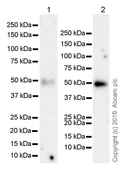 Western blot - Anti-CD134 / OX40L receptor antibody [EPR23001-88] (ab264465)