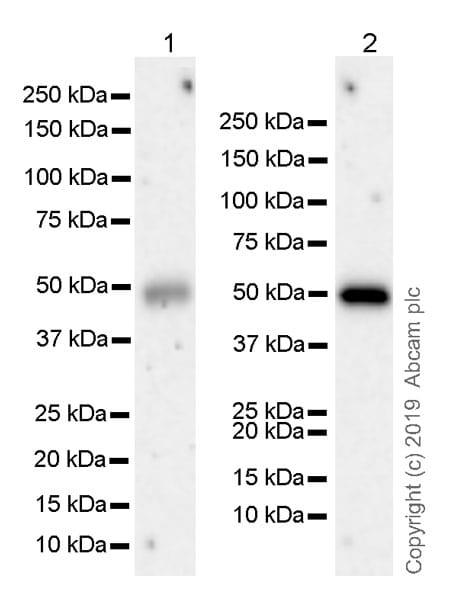 Western blot - Anti-CD134 / OX40L receptor antibody [EPR23000-42] (ab264466)